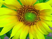 Sunflower Prints Prints - Sunflower Print by Buzz Coe