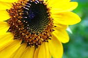Sunflower Prints Prints - Sunflower Center Print by John and Veronica Vandenburg