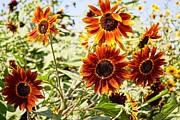 Sunflower Cluster Print by Kerri Mortenson