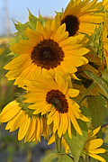 Yellow And Orange Sunflower Prints - Sunflower Cluster Print by Roy Thoman