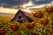 Barn North Carolina Framed Prints - Sunflower Dance Framed Print by Debra and Dave Vanderlaan