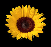 Isolated On Black Background Posters - Sunflower  Poster by Danny Smythe