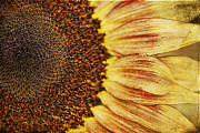 Textured Floral Framed Prints - Sunflower Framed Print by Darren Fisher