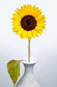 Sunflower Photos - Sunflower by David Bowman