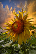 Pasture Scenes Prints - Sunflower Dawn Print by Debra and Dave Vanderlaan