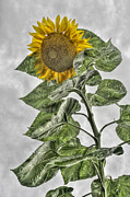 Sunflower Print by Dawn J Benko