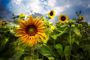 Pasture Scenes Posters - Sunflower Dream Poster by Debra and Dave Vanderlaan