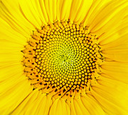 Background Art - Sunflower  by Edward Fielding