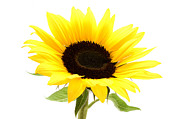 White Photo Posters - Sunflower Poster by Fabrizio Troiani