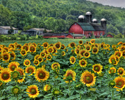 Farming Barns Digital Art Posters - Sunflower Farm Poster by Lori Deiter