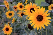 Neutral Colors Originals - Sunflower Fence by Janice Rae Pariza