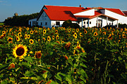 North Fork Framed Prints - Sunflower Field at Winery Framed Print by James Kirkikis