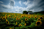 Farming Digital Art - Sunflower field by Crystal Wightman