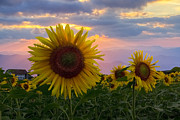 Sunset Scenes. Framed Prints - Sunflower Field Framed Print by Debra and Dave Vanderlaan