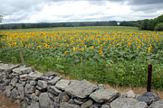 Donna Desrosiers - Sunflower Field