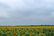 Bract Framed Prints - Sunflower Field in Missouri Framed Print by Douglas Barnett