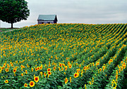 Old Country Roads Posters - Sunflower Field in West Michigan Poster by James Rasmusson