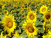 Field Of Flowers Posters - Sunflower Field Poster by Julie Palencia