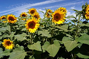 Farmstand Photo Metal Prints - Sunflower Field Metal Print by Kerri Mortenson