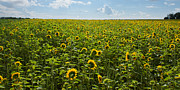 Matt Dobson - Sunflower Field Panorama