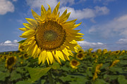 Sunflowers Prints - Sunflower Field Print by Susan Candelario