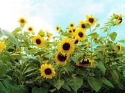 Judy Via-Wolff - Sunflower Fields Forever    Five