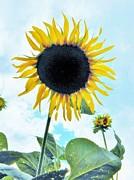 Judy Via-Wolff - Sunflower Fields Forever One
