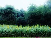 Judy Via-Wolff - Sunflower Fields Forever   Three
