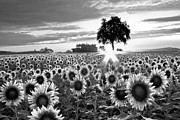 Ray Flowers Framed Prints - Sunflower Fields in Black and White Framed Print by Debra and Dave Vanderlaan