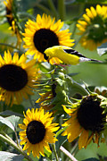 David Yunker - Sunflower Finch