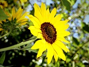 Napa Valley Photos - Sunflower from Napa Valley by Jetson Nguyen
