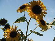 Sunflower Gang From Below Print by Anna Lisa Yoder
