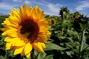Farmstand Photo Metal Prints - Sunflower Glow Metal Print by Kerri Mortenson
