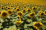 Gouzel - - Sunflower