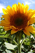 Farmstand Photo Metal Prints - Sunflower Highlight Metal Print by Kerri Mortenson