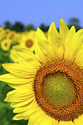 Blue Sky Art - Sunflower in field by Elena Elisseeva