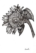 Flora Drawings Posters - Sunflower in Pen and Ink Poster by Sarah Loft
