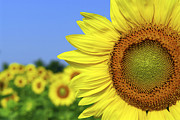 Petal Photo Prints - Sunflower in sunflower field Print by Elena Elisseeva