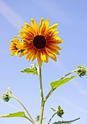 Farmstand Photo Metal Prints - Sunflower in the Sky Metal Print by Kerri Mortenson