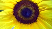 Sunflower  Print by JoNeL  Art