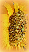 Kay Novy Framed Prints - Sunflower Framed Print by Kay Novy
