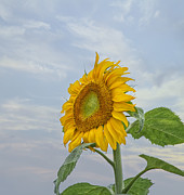 Kim Photo Framed Prints - Sunflower Framed Print by Kim Hojnacki