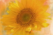 Large Sunflower Framed Prints - Sunflower Kisses Framed Print by Zeana Romanovna