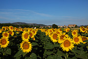 Provence Village Prints - Sunflower Landscape 2 Print by Susan Rovira
