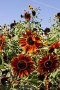 Farmstand Metal Prints - Sunflower Layers Metal Print by Kerri Mortenson
