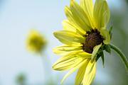 Leia Burt - Sunflower