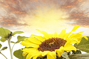 Bloom Photo Metal Prints - Sunflower  Metal Print by Les Cunliffe
