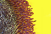 Simon Bratt Photography - Sunflower macro image