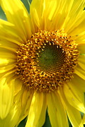 Natures Photos Prints - Sunflower Macro Print by Neal Eslinger