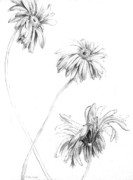 Nature Study Drawings Prints - Sunflower Print by Martha Colon